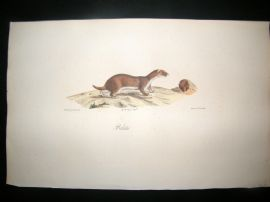 Saint Hilaire & Cuvier C1830 Folio Hand Colored Print. Least Weasel